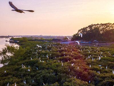 钦州白鹭夕阳下茅尾海红林筑巢